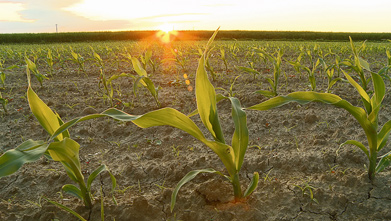 Plant Analysis for Testing Nutrient Levels in Corn