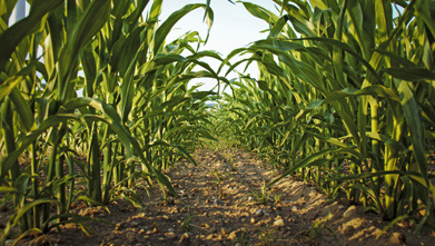 Plant nutrient analyses identifies yield-robbing shortages