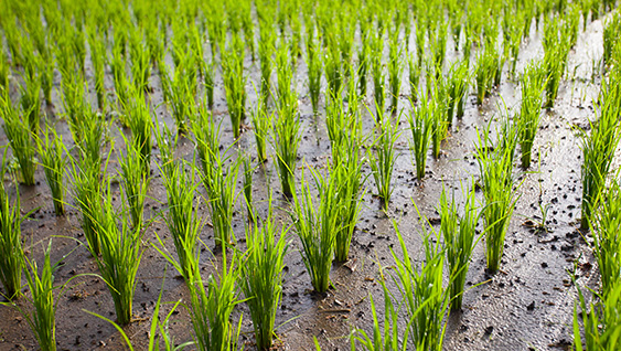 Improving Rice Yields and Quality with Potassium