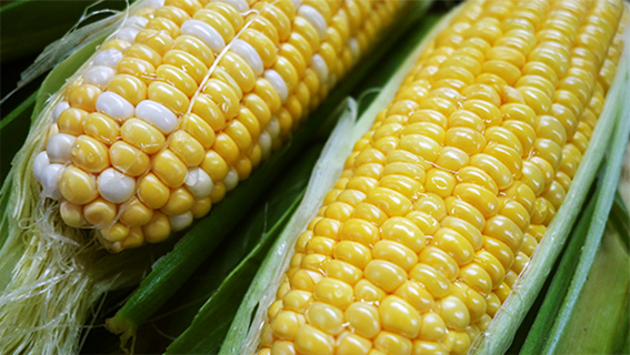 Take Advantage of Phosphorus and Nitrogen Interactions to Boost Corn Yields