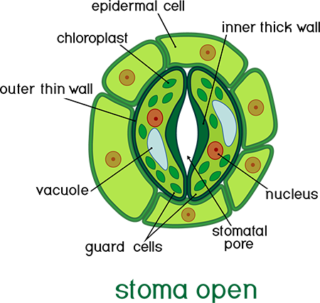 Open Stoma